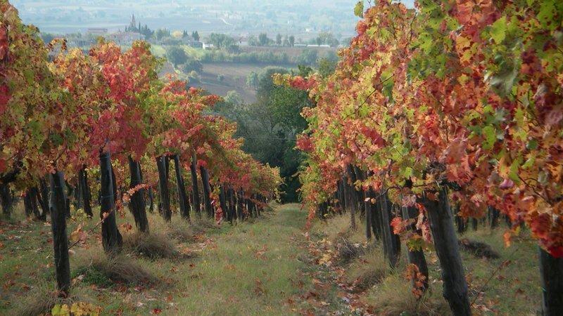 Vitigno di Sagrantino di Montefalco in Umbria, veduta sul paese